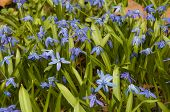 Blooming Scilla