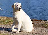 Yellow Happy Labrador In Summer Near River