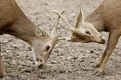 Young Red Deer Males Rutting
