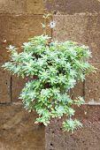 Plant On Wall Tuscany