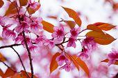 Pink sakura with bokeh