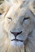 White Lion (panthera Leo Krugeri)
