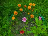 Tagetes (marigold) and petunias