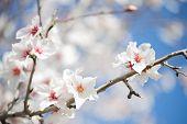beautiful white almond blossoms in majorca