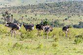Ostriches  Walking On Savanna In Africa. Safari. Kenya