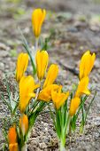 Yellow crocuses with closed flowers