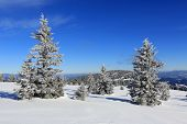 pines in winter mountains at nice sunny day