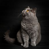 image of portrait british shorthair cat  - British shorthar sitting - JPG