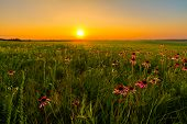 stock photo of wildflower  - Sunset in a Prairie Field of Purple Coneflowers - JPG