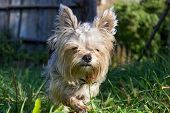 picture of yorkshire terrier  - Cute Yorkshire terrier adult standing in the grass - JPG