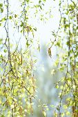 Natural Background With Fresh Spring Twig Of Birch In Selective Focus