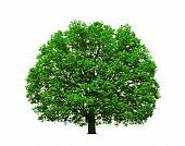 Big Majestic Oak Tree Isolated