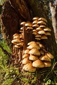 Armillaria fungus in tree