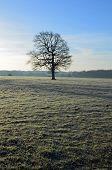 Single English Oak tree