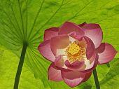 Lotus Covered Under Lotus Leaves