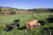 Cows Animals Valley