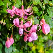 Delicate Pink Fuchsia Flower On The Nature Green Leaves Background, ` Pink Galore`, Closeup