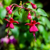 Blossoming Branch Dark-red Fuchsia On The Nature Green Leaves Background,` Huet's Kwarts`, Closeup