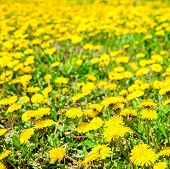 Fresh Spring Background Of Field Yellow Dandelions Flower, Closeup