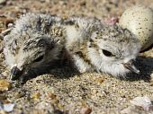 Piping plover hatchlings