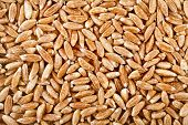 Spelt Grains Close up top view surface texture background