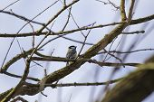 pic of great tit  - Great Tit spotted outdoors in National Botanic Gardens Dublin - JPG
