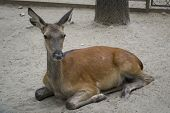 Deer Without Antlers