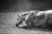 Lying Horse