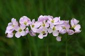 Wild flowers Raphanus raphanistrum