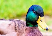 stock photo of duck  - Close up portait of a duck on grass and dirt - JPG
