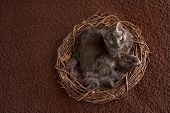 picture of medium-  length hair  - An overhead shot of a grey Nebelung cat lying in a large nest - JPG