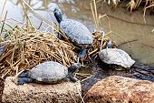 pic of swamps  - Turtles or tortoises on stone and on reed or cane on swamp or decorative pond - JPG