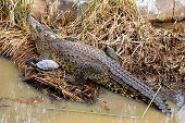 picture of swamps  - Crocodile with turtle on reed or cane on swamp - JPG