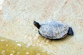 picture of swamps  - Turtle or tortoise on stone shore of swamp or pond - JPG