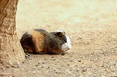stock photo of guinea pig  - Guinea pig or hamster on the ground near tree - JPG