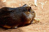 foto of guinea  - Guinea pig or hamster on the ground - JPG
