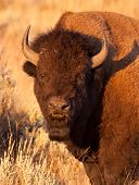 stock photo of lamar  - American Bison Herd Bull in Yellowstone National Park - JPG