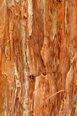 Background Texture Of Paperbark Tree
