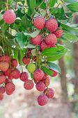 pic of orchard  - fresh lychee on tree in lychee orchard - JPG