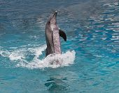 picture of dolphin  - file of dolphin show standing in water - JPG