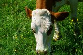 pic of pastures  - Close up of a Dairy cow on a pasture in the Black Forest - JPG
