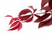 foto of grape leaf  - Branch of dark red autumn grapes leaves  - JPG