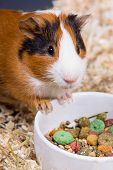 picture of guinea pig  - Guinea pig near the feed closeup - JPG