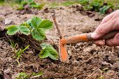 picture of weed  - women hands weeding of the strawberries in the garden - JPG