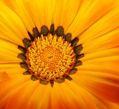 image of close-up shot  - close up shot of a yellow gazinia flower - JPG