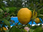 Lemon On A Tree