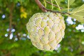image of custard  - custard apple fruit with mealybugs on tree in the garden - JPG