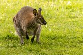 picture of wallabies  - A wallaby in a grassy field looking watchfully into the distance while crouched on its back legs with its front paws dangling in front of its body - JPG