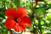 foto of rosa  - The Hibiscus syriacus is the national flower of South Korea - JPG