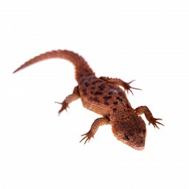 stock photo of girdles  - Transvaal Girdled Lizard, Cordylus vittifer, isolated on white background. ** Note: Shallow depth of field - JPG